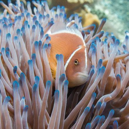 Pink anemonefish, Raja Ampat - Pink anemonefish, Batu Rufus dive site, Penemu Island.