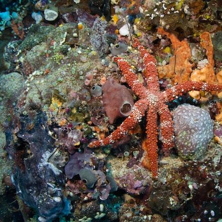 Seastar, Raja Ampat - A sea star clings to the coral, Raja Ampat.