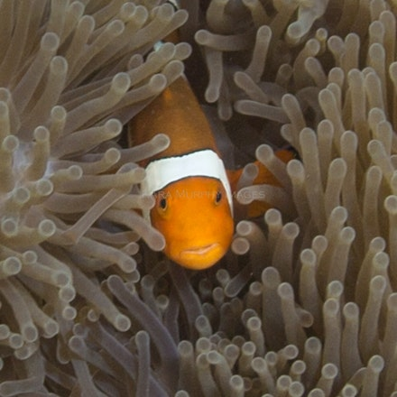 Anemonefish, Pulau Satonda - Anemonefish, Pulau Satonda