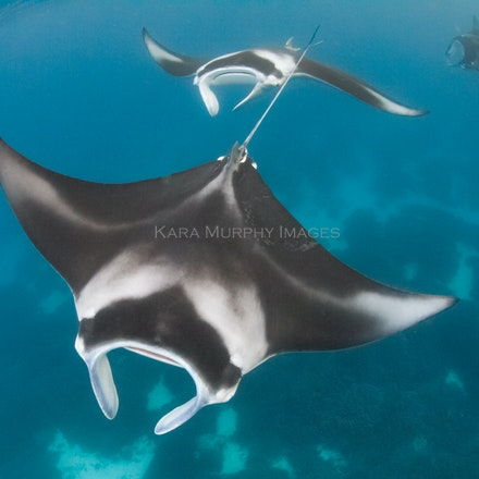 Lady Elliot Island (mantas and other marine life) - A few of the other marine species you might encounter off Lady Elliot Island, Australia.