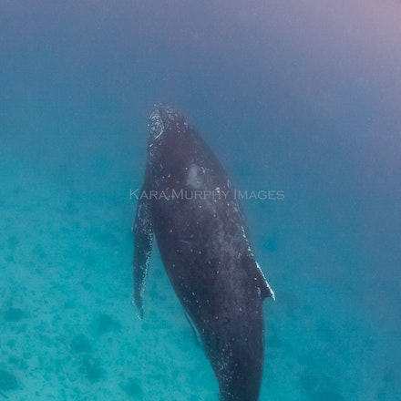 Vertical humpback, LEI (July 31, 2016) - A humpback whale appeared on a snorkel safari off Lady Elliot Island, Great Barrier Reef, Australia.
