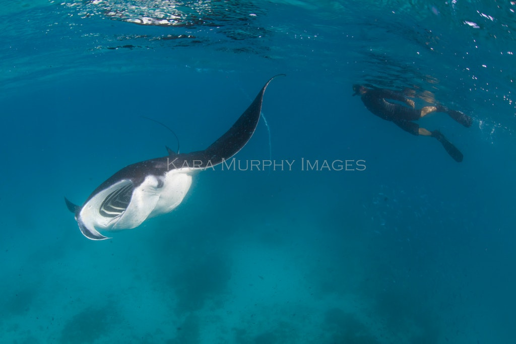 Manta and snorkeler - A snorkeler swims near a reef manta in the waters off Lady Elliot Island, Australia.