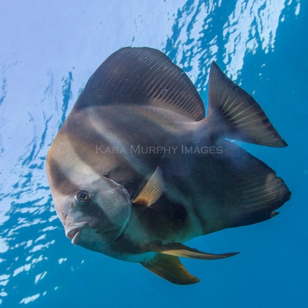 Batfish, Flinders Reef - A batfish, Flinders Reef, Moreton Bay Marine Park.