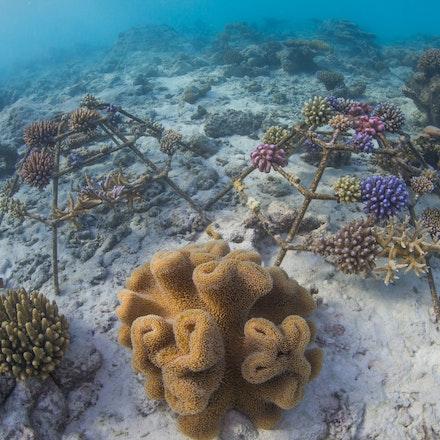 Coral frames - Coral frames at Four Seasons Landaa Giraavaru grow new life beneath the waves.