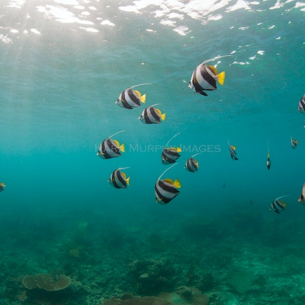 Bannerfish - Bannerfish swim in the Maldives.