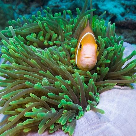 Anemonefish 2
