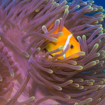 Anemonefish3