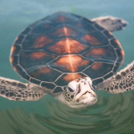 Sea turtle2