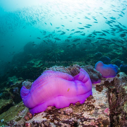 Anemone, Three Islets - Colourful anemones are abundant at Three Islets.