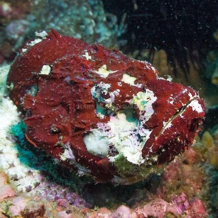 Stonefish - A stonefish at North Rock.