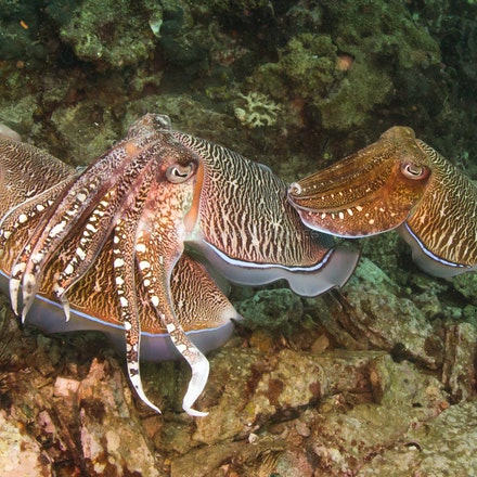 Cuttlefish - Cuttlefish, Three Islets, Mergui Archipelago, Myanmar
