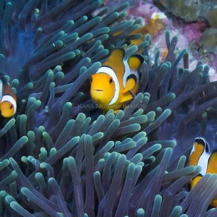Anemonefish, Three Islets - Anemonefish, Three Islets
