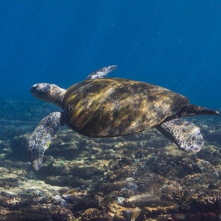 Flinders Reef turtle - A green turtle swims above Flinders Reef, Moreton Bay, Queensland.