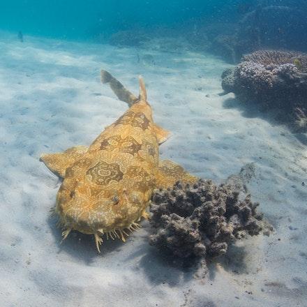 Wobbegong - A wobbegong rests alongside the Tangalooma Wrecks, Moreton Bay.
