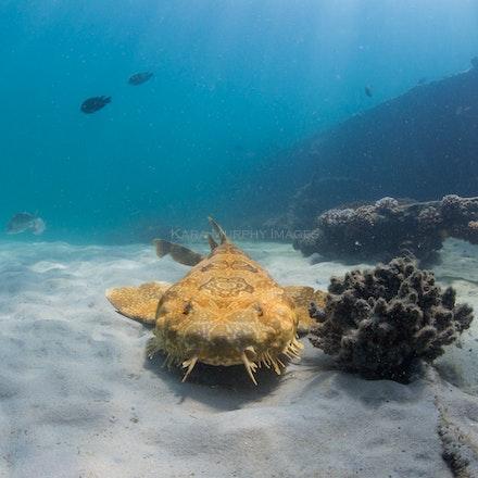 Wobbegong at the Wrecks - A wobbegong rests alongside the Tangalooma Wrecks, Moreton Bay.