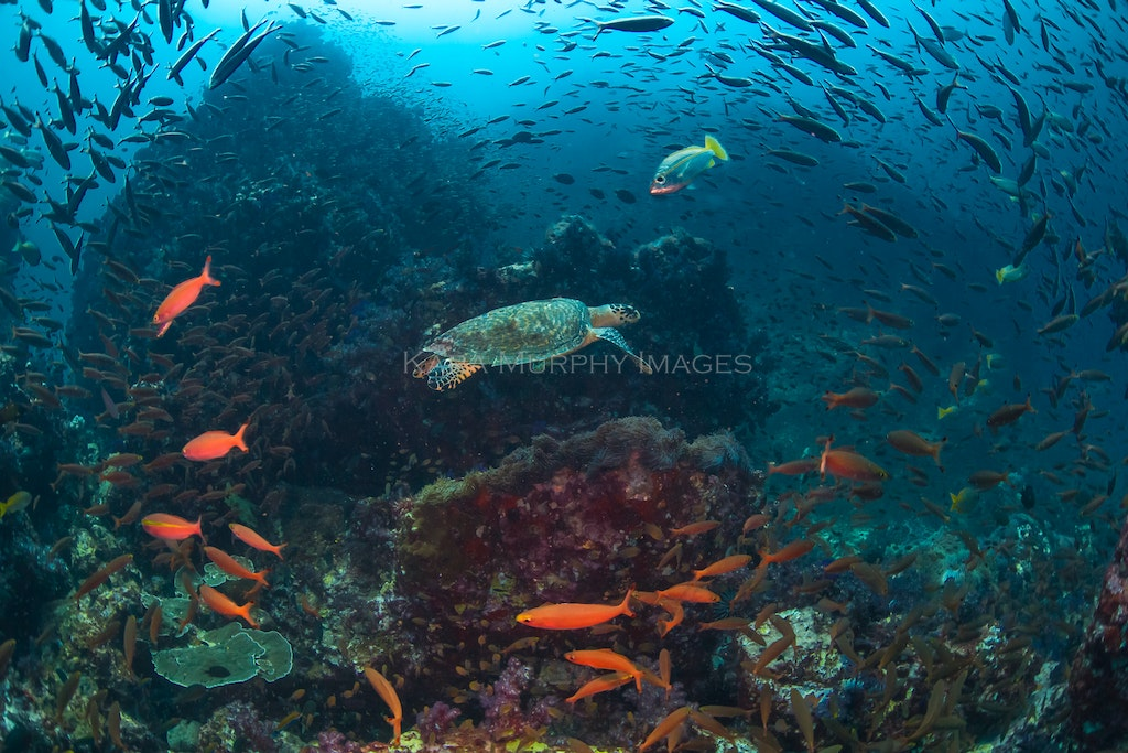 Richelieu Rock star - A hawksbill turtle swims through a flurry of fish at Richelieu Rock, Thailand's premier dive site.
