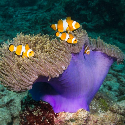 Anemonefish, Similan Islands - Anemonefish swim close to their anemone, Similan Islands.