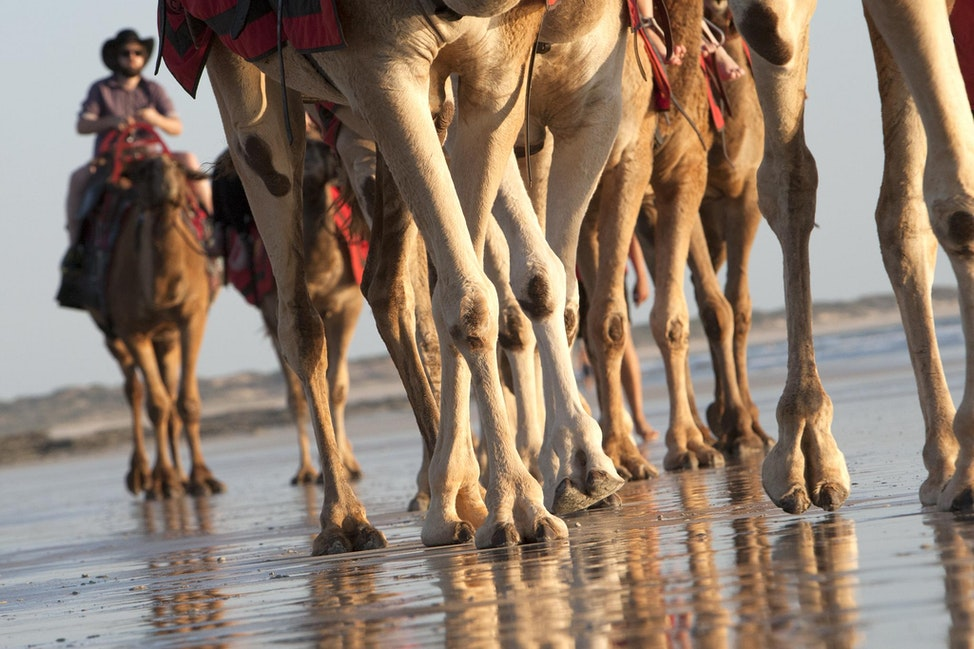 Camels Broome - Camels, Cable Beach, Broome.