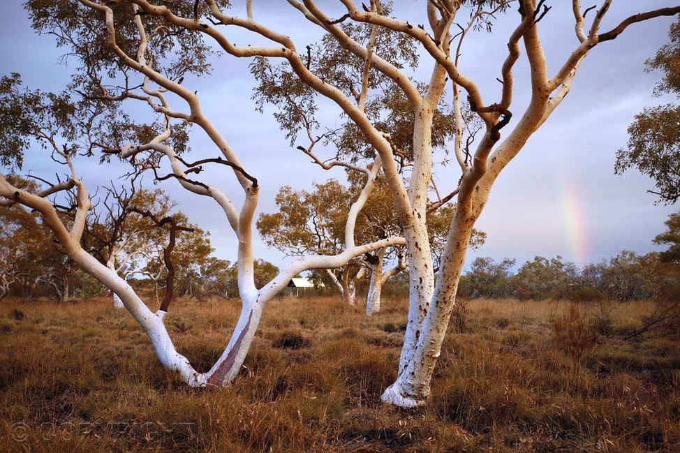 Snow Gums - Snow gums lit by stormy afternoon light and a rainbow in Karijini National Park, Western Australia.