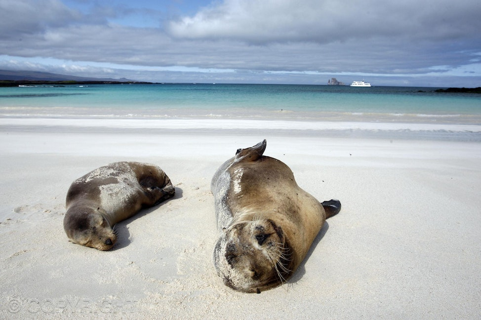 Galapagos seals - Seals lying on white sand beach in the Galapagos.