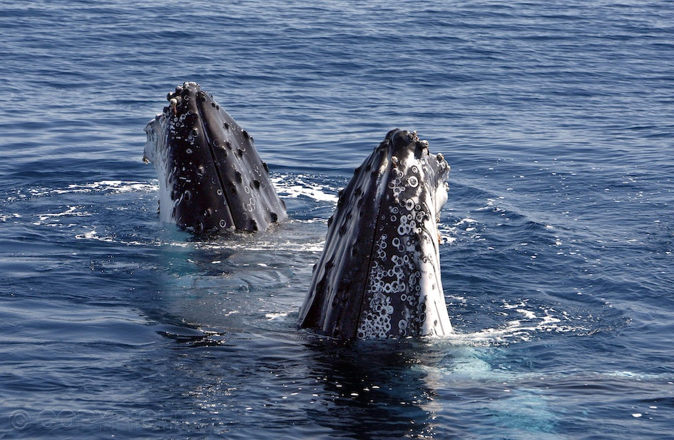 Humpback whales - Two humpback whales swimming vertically in clear, calm, blue ocean with heads protruding.