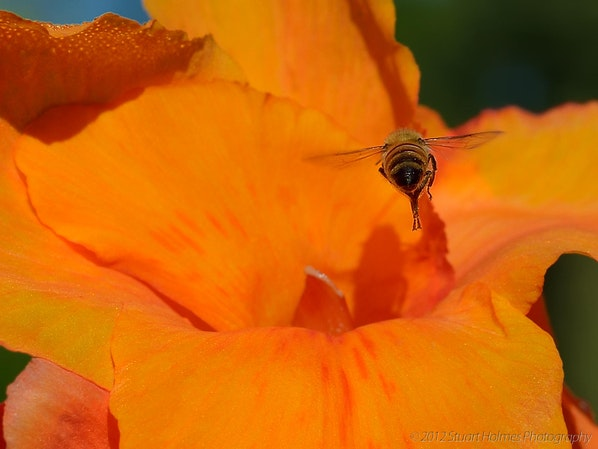 Bee-Orange-Flower