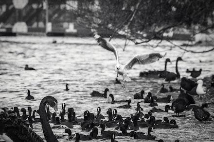 Birds Of Lake Wendouree