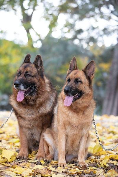 German Shepherd June 2018-5236