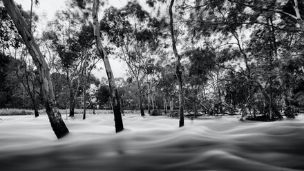 Sudden Flood - The River Torrens in flood at Athelstone 2016