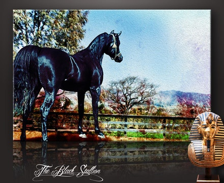 The Black Stallion on canvas - The Black Stallion is a digital painting of a your purebred Arabian stallion. Based on an image taken in 2007 at an Arabian...