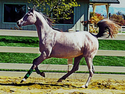 The Grey Filly - A grey Arabian filly showing off her paces for stud visitors. Image taken in the Santa Ynez valley, California, USA.