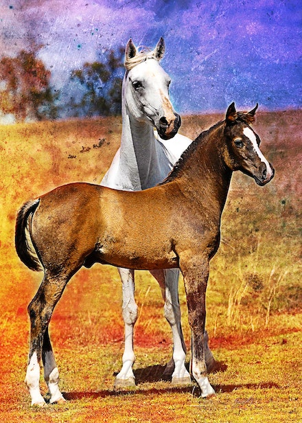 Mare and Foal - Purebred grey Arabian mare and her colt foal by the multi champion pure Crabbet Arabian stallion, Silver Wind Van Nina. The image was given...