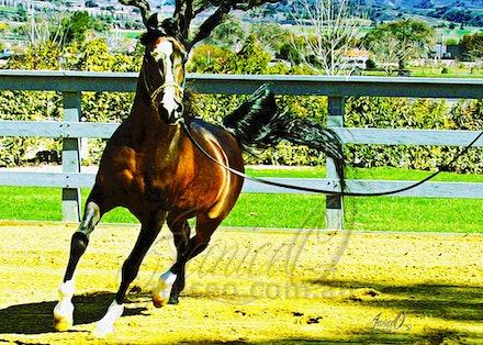 Simeon Shai - bay Arabian Stallion - The winner of the Triple Crown, World Champion, Canadian Champion and USA Champion in the same year, Simeon Shai was...