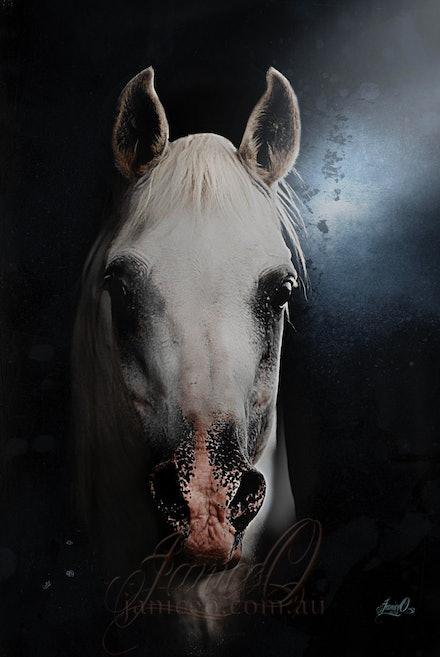 The White Stallion - Head shot of the charismatic white, purebred Arabian stallion, Silver Wind Van Nina. A multi champion and Supreme Champion at halter...