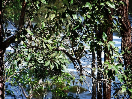 Summer Leaves - Floodwaters in the Wivenhoe Dam overflow, glimpsed through the trees on the bank.