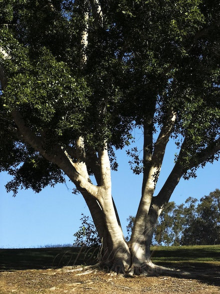 Two Sides - Magnificent tree in the park lands of Lake Wivenhoe.