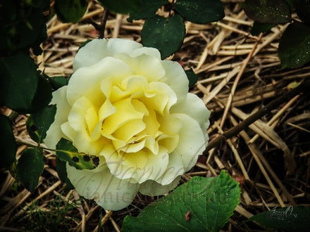 The Colour Yellow - Shades of yellow colour the petals of this beautiful rose growing in a straw covered bed.