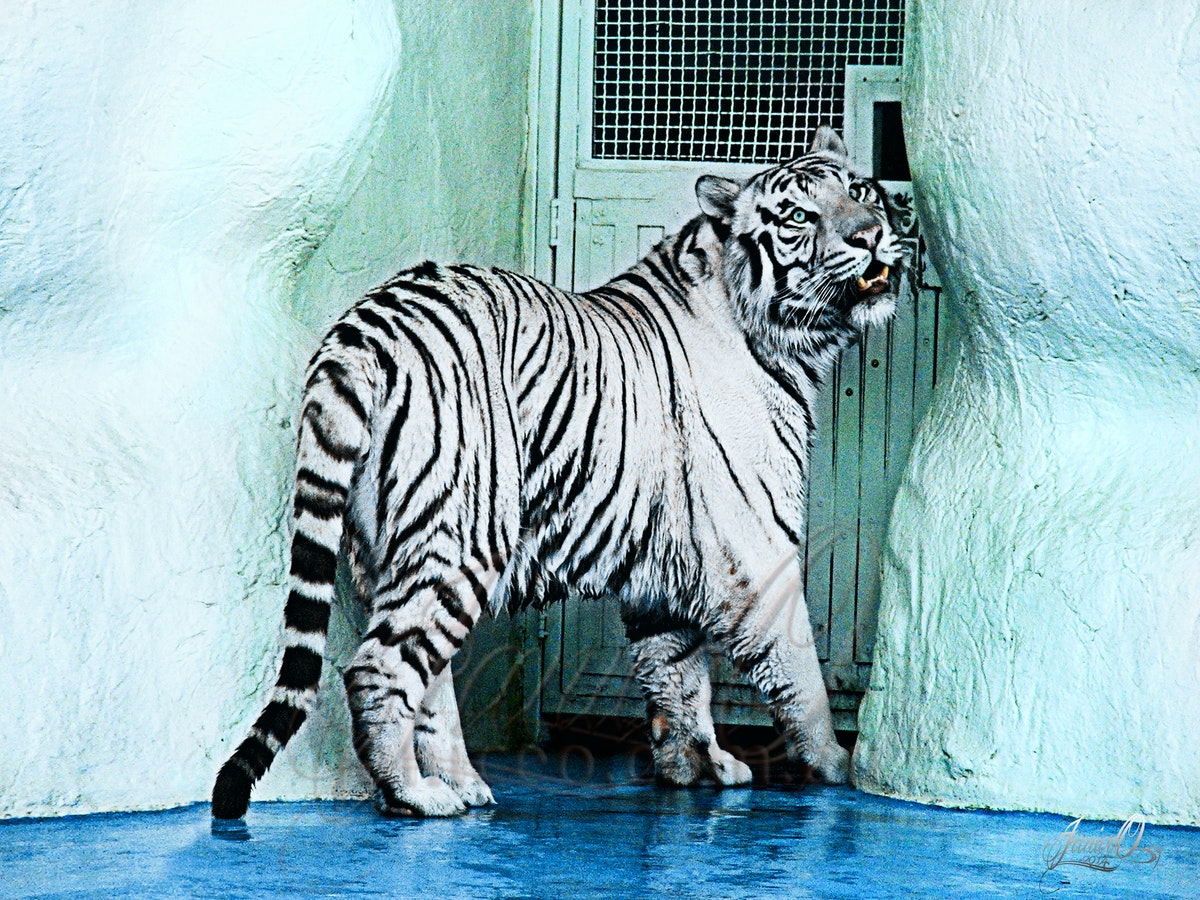 Tiger White - One of the white tigers owned by Seigfried and Roy a the Mirage casino in Las Vegas
