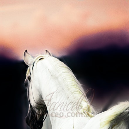 New Year 4 - Purebred Arabian white stallion, Silver Wind Van Nina. Digital painting based on a photo by Sharon Meyers Photography.