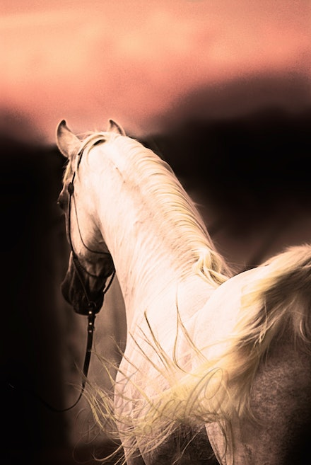 New Year 6 - Purebred Arabian white stallion, Silver Wind Van Nina. Digital painting based on a photo by Sharon Meyers Photography.