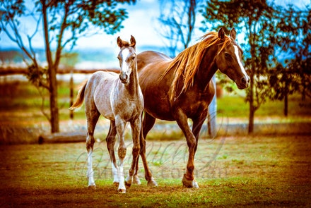 Her Colt - The purebred Arabian mare Ashwood Simpley Susan and her straight Crabbet Arabian colt by Silver Wind Van Nina. At home in the paddocks of Comanche...