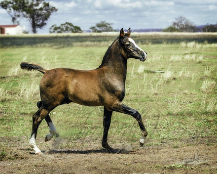 Arabian Horses - The beauty of the Arabian has led to them being called living art. They are loyal companions, intelligent, beautiful and superb working...