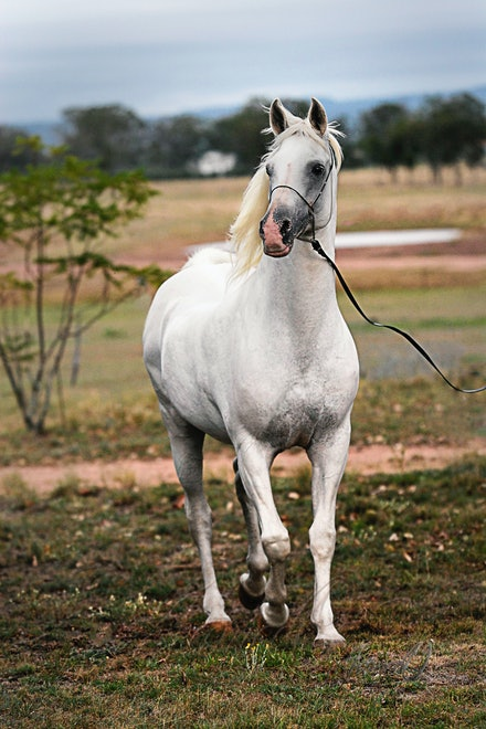 White Beauty - Fairy tale white Arabian stallion, Silver Wind van Nina
