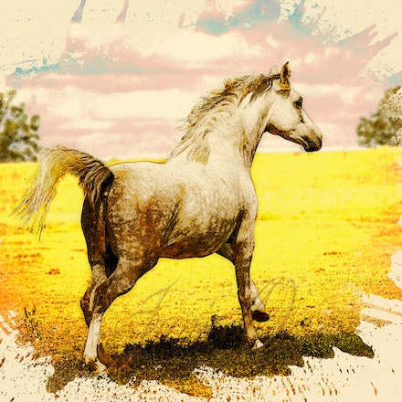 Run- Watercolour - Beautiful Arabian mare enjoying a gallop in the sun.