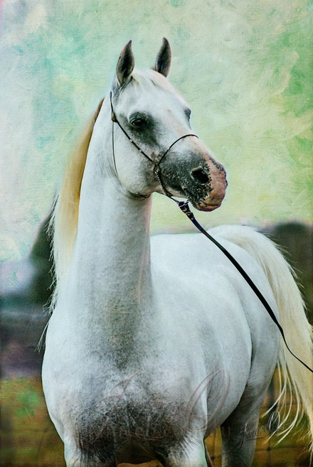 Look of Eagels - Handsome Arabian stallion, silver white in the sun. Original image taken by Sharon Meyers Photography.