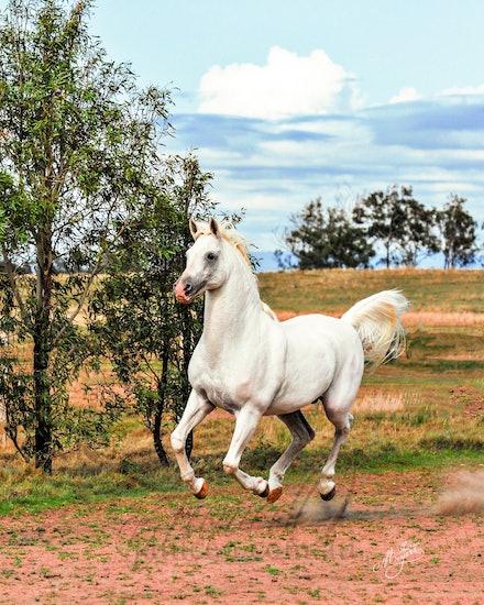 Silver Stallion - Four feet off the ground, the white stallion flies.