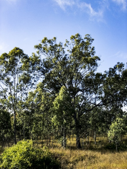 The Tree - Standing just off the road, surrounded by native bush in Wivenhoe Park.