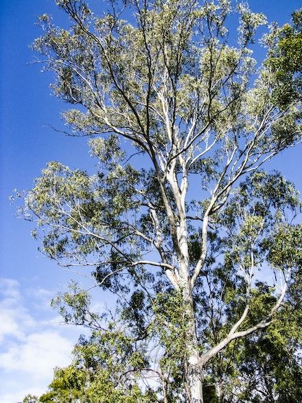 Ghost Gum - The white bark stands out even in daylight.