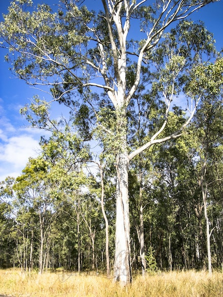 Ghost Gum 2 - The white bark stands out even in daylight.
