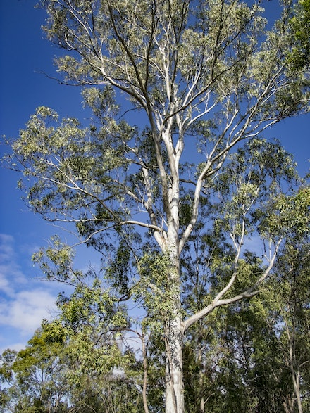 Ghost Gum 3 - The white bark stands out even in daylight.